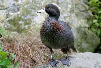 duck-3
